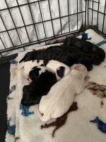 Havapoo Puppies for sale in Reardan, WA 99029, USA. price: NA