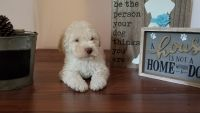 Havapoo Puppies for sale in Port Charlotte, FL, USA. price: NA