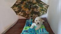 Havapoo Puppies Photos