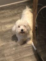 Havapoo Puppies for sale in Hurt, VA 24563, USA. price: NA