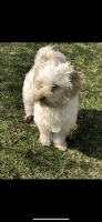 Havapoo Puppies for sale in New York, NY, USA. price: NA