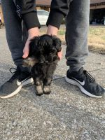 Havapoo Puppies for sale in Paducah, KY, USA. price: NA