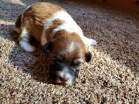 Havapoo Puppies for sale in Conroe, TX, USA. price: NA