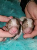 Havapoo Puppies for sale in Cache, OK 73527, USA. price: NA