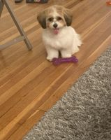 Havapoo Puppies for sale in South Plainfield, NJ 07080, USA. price: NA
