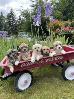 Havapoo Puppies for sale in Seattle, WA, USA. price: NA