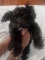 Havapoo Puppies for sale in Phoenix, AZ 85021, USA. price: NA