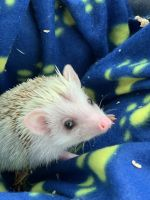 Hedgehog Animals for sale in West Babylon, NY, USA. price: NA
