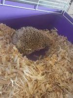 Hedgehog Animals for sale in Fitzgerald, GA 31750, USA. price: NA