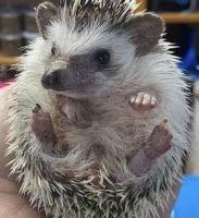 Hedgehog Animals for sale in Prior Lake, MN, USA. price: NA