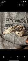 Hedgehog Animals for sale in Wauseon, OH 43567, USA. price: NA