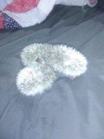 Hedgehog Animals for sale in Little Rock, AR, USA. price: NA