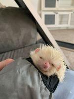 Hedgehog Animals for sale in Grand Blanc, MI 48439, USA. price: NA