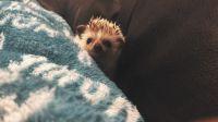 Hedgehog Animals for sale in Ferndale, WA 98248, USA. price: NA