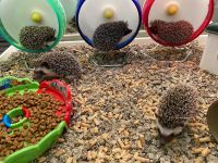 Hedgehog Animals for sale in Roseville, CA, USA. price: NA