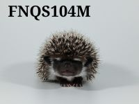 Hedgehog Animals for sale in Anderson, SC, USA. price: NA