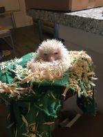 Hedgehog Animals for sale in Lutz, FL, USA. price: NA