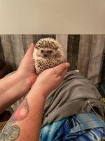 Hedgehog Animals for sale in Urbana, OH 43078, USA. price: NA