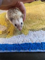 Hedgehog Animals for sale in Haverhill, MA, USA. price: NA