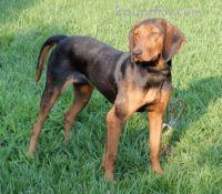 hellenic hound dog