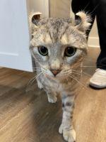 Highland Lynx Cats for sale in Virginia Beach, VA, USA. price: NA
