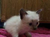 Himalayan Cats for sale in Mill Creek, WA, USA. price: NA
