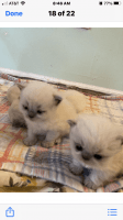 Himalayan Cats for sale in Wading River, NY, USA. price: NA