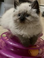 Himalayan Cats for sale in Wheeling, IL, USA. price: NA