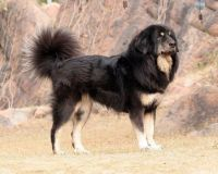himalayan sheepdog dog