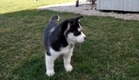 Hokkaido Puppies for sale in San Jose, CA, USA. price: NA
