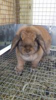 Holland Lop Rabbits for sale in Myerstown, PA 17067, USA. price: NA