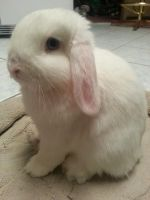 Holland Lop Rabbits for sale in Blue Diamond, NV, USA. price: NA