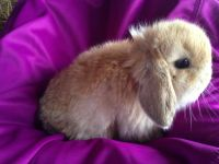 Holland Lop Rabbits for sale in Winston-Salem, NC, USA. price: NA
