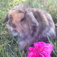 Holland Lop Rabbits for sale in Sacramento, CA, USA. price: NA