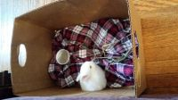 Holland Lop Rabbits for sale in Oakland, CA, USA. price: NA