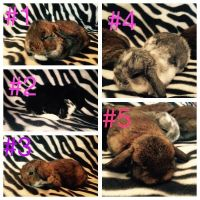 Holland Lop Rabbits for sale in Fullerton, CA, USA. price: NA