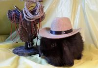 Holland Lop Rabbits for sale in Bessemer City, NC 28016, USA. price: NA