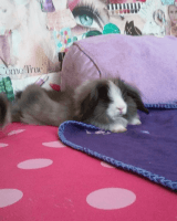 Holland Lop Rabbits for sale in Los Angeles, CA, USA. price: NA