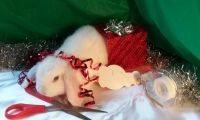 Holland Lop Rabbits for sale in Gaston, NC, USA. price: NA