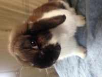 Holland Lop Rabbits for sale in Spiceland, IN 47385, USA. price: NA