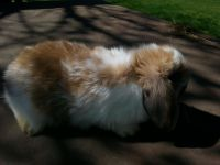 Holland Lop Rabbits for sale in Roseville, OH 43777, USA. price: NA