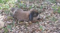 Holland Lop Rabbits for sale in Bearden, AR 71720, USA. price: NA