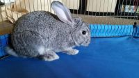 Holland Lop Rabbits for sale in West Covina, CA, USA. price: NA