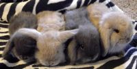 Holland Lop Rabbits for sale in Polk, OH 44866, USA. price: NA