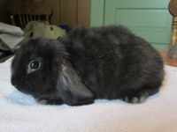 Holland Lop Rabbits for sale in Somerset, PA 15501, USA. price: NA