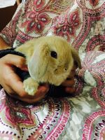 Holland Lop Rabbits for sale in Keasbey, NJ 08832, USA. price: NA