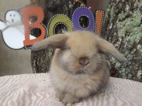 Holland Lop Rabbits for sale in Concord, NC, USA. price: NA