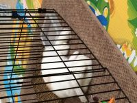 Holland Lop Rabbits for sale in Oakland Gardens, Queens, NY 11364, USA. price: NA