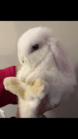 Holland Lop Rabbits for sale in Penns Grove, NJ 08069, USA. price: NA
