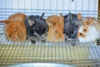 Holland Lop Rabbits for sale in Waco, TX, USA. price: NA